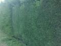 coniferenhaag snoeien